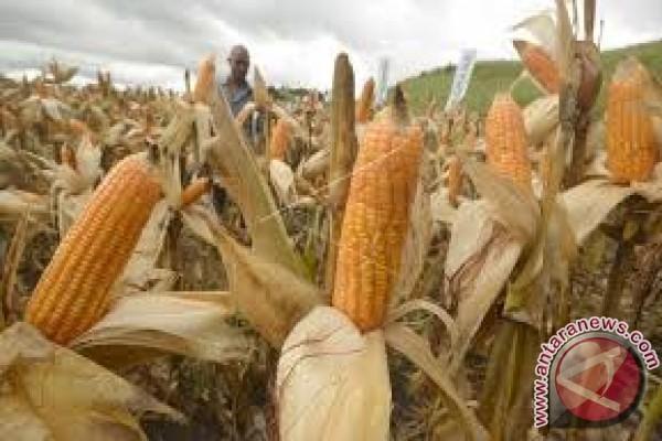 Menanti Jagung Hibrida Sejahterakan Petani Konawe Utara