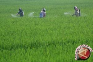 Jasindo Asuransikan 2.409 Hektare Sawah Padi Konawe