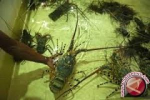 Harga Udang Lobster Tembus Rp1 Juta/kg