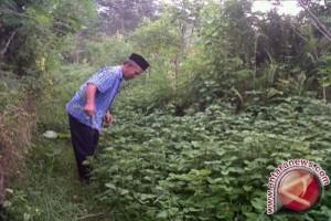 Petani Sultra Mulai Tertarik Kembangkan Tanaman Nilam
