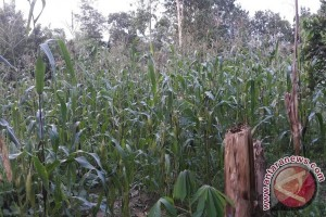 Konawe Selatan Alokasi Tanam Jagung 20.000 Hektare