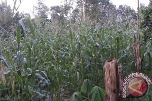 Buton Selatan Tanam Jagung 1.200 Hektare