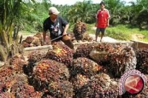 Memprihatinkan, Penghasilan Petani Plasma Kelapa Sawit Rp150 Ribu/Hektare