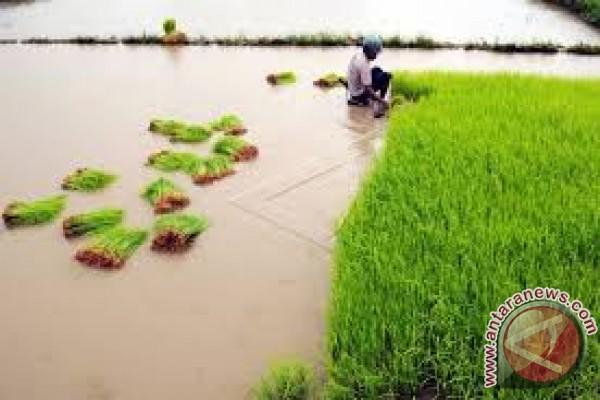 Asuransi Jasindo Data Sawah Korban Banjir Konawe