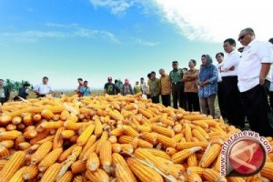 Southeast Sulawesi Has A Surplus Of 38,000 Tons Of Corn Grain