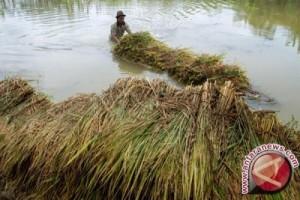 Petani Korban Banjir Konawe Butuh Bibit Padi