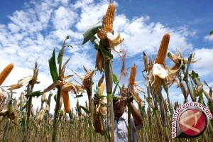 Sektor Pertanian Beri Kontribusi Dominan PDRB Sultra