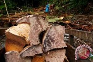 Konawe Pertahankan Kelestarian Tanaman Sagu
