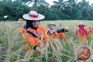 Panen raya padi di Sultra Februari