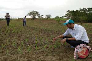Gempita Sultra Fasilitasi Penanaman Jagung 2000 Hektare