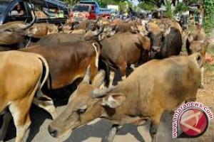 BBVET dukung peningkatan populasi sapi Konawe Selatan