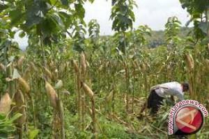Kendari Dorong Petani Tingkatkan Produktivitas Jagung