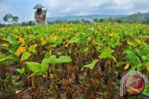 Sultra Targetkan Kembangkan Kedelai 10.000 Hektare