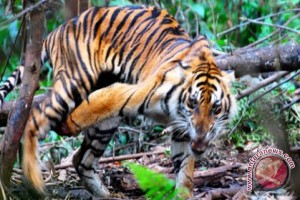 BKSDA selidiki pembantaian harimau di Muaraenim