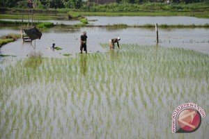 Petani 'sulap' rawa menjadi sawah produktif