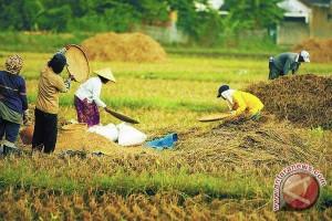 Petani panen padi organik seluas 25 hektare
