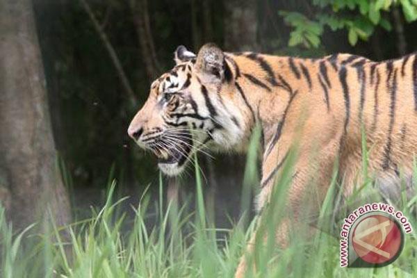 Harimau Sumatera dari Seluma akan dievakuasi