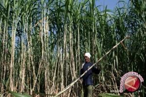 PTPN VII ganti tanaman karet dengan tebu