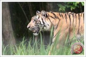 KLHK gandeng UNDP pulihkan populasi harimau sumatera