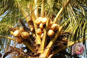 Hama kumbang serang tanaman kelapa di Sangihe