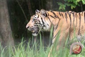 BBKSDA-WWF survei lokasi Harimau datangi pemukiman warga