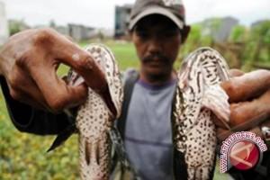 Ogan Komering Ulu cocok budidayakan ikan gabus