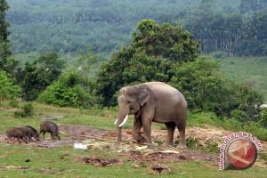 Habitat gajah sumatera terus menyusut