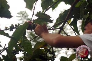 Petani mengeluh harga kopi turun