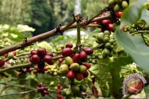 Petani Lampung berminat kembali tanam kopi