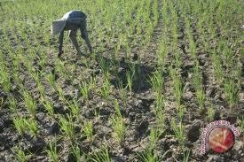 Ribuan hektare sawah di Musirawas terancam puso
