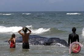 Sampah plastik penuhi perut paus mati