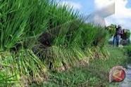 Legislator: Petani Banyuasin berharap dapat bantuan bibit