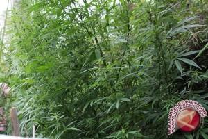 Ladang ganja seluas 1,5 hektare ditemukan di Mandailing Natal