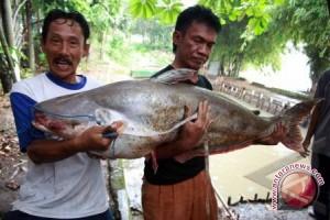 Sumatera Selatan bidik pasar ekspor ikan patin