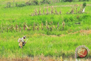Pengebor minyak ilegal Musi Banyuasin diajak berkebun