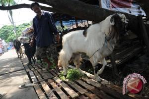 Sapi Lampung ramaikan pasar hewan kurban Palembang