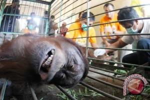 Video penyiksaan orang utan di Bandung beredar