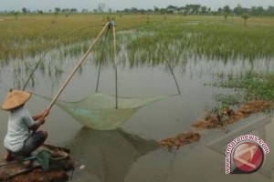 Belasan hektare sawah di Lampung terancam gagal panen
