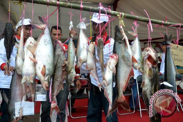 Ikan tapa 6,2 Kg masih ada di Sungai Musi