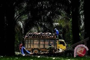 Polisi tangkap kawanan pencuri buah sawit
