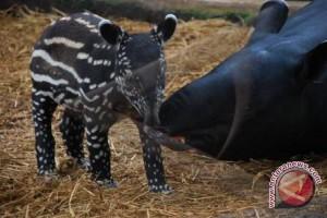 Warga Bengkulu selamatkan tapir terjebak di sumur
