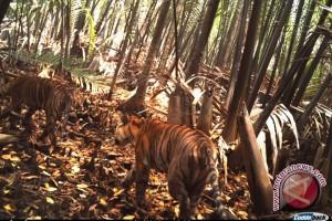 Ancaman terhadap harimau sumatera masih tinggi