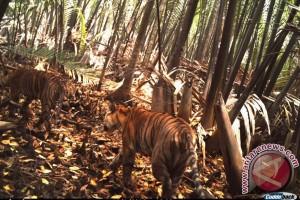Harimau Sumatera di TN Sembilang