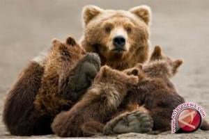 Beruang kutub kelaparan saat es Kutub Utara mencair
