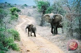 Gajah jinak way kambas lahirkan bayi betina