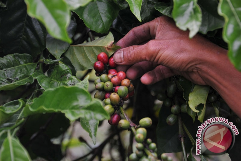 Permintaan kopi dari AS dan Jepang menguat