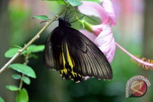 Pertamina bantu konservasi kupu-kupu di Lampung