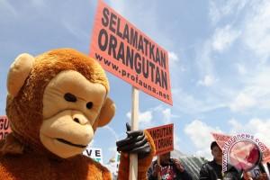 Walhi: Pemerintah selamatkan orangutan Tapanuli