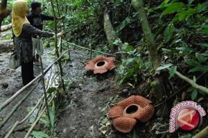 2.000 hektare hutan UMB untuk konservasi Rafflesia