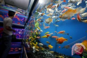 Pemerintah dorong pengembangan industri ikan hias nasional